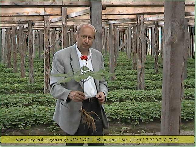Женьшень и его выращивание в сибири 82